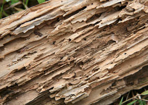 Termite-damaged wood showing rotting galleries outside of a New Paltz home